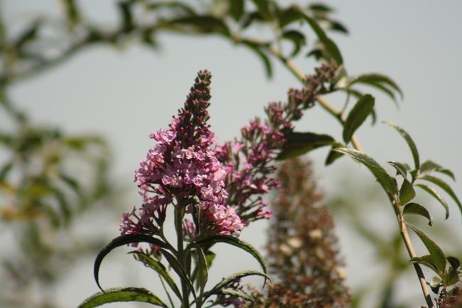 'Pink Charming' butterfly bush. (photo by Jennifer Baumbach)