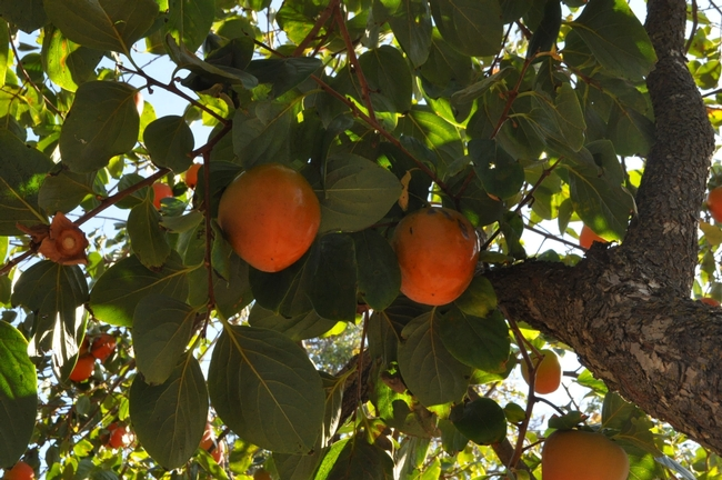Beautiful orange persimmon ornaments. (photo by Rich Zimmerman)