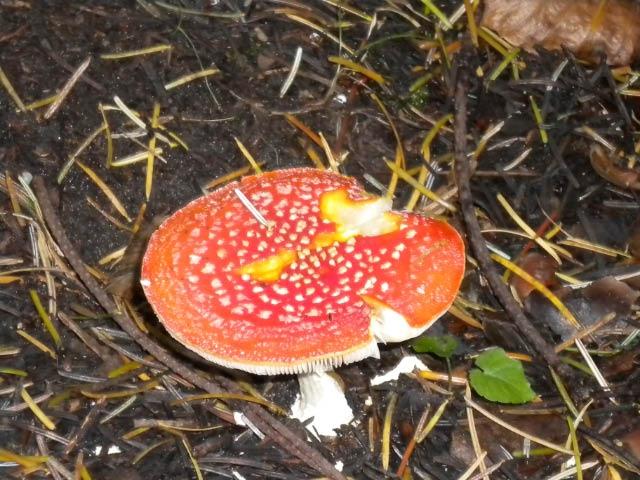 'Fairy tale' mushroom. (Amanita muscaria)