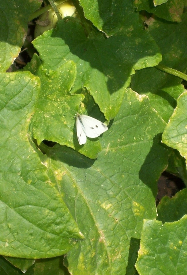 Female Cabbage Butterfly (Pieris rapae). (photos by Libbey McKendry)