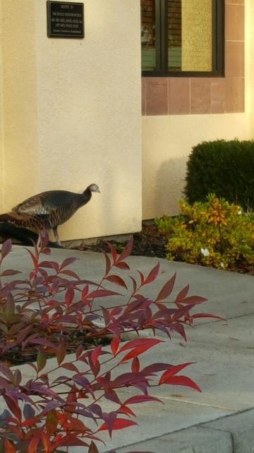 Wild turkey. (photo by Launa Herrmann)