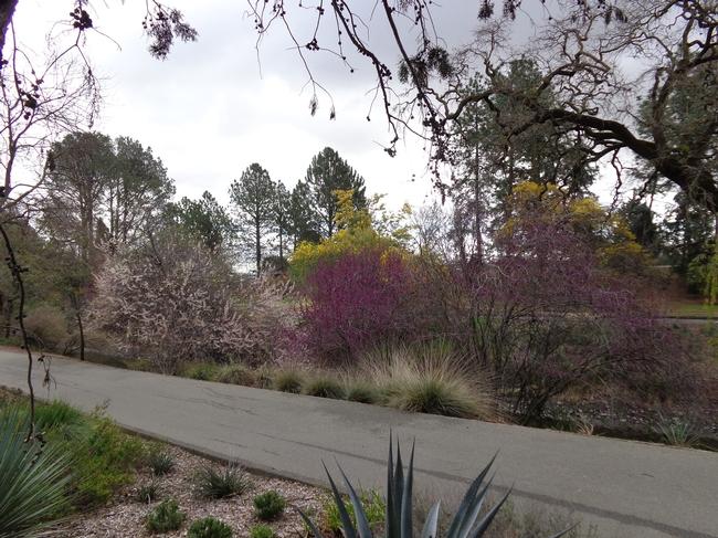 Redbud by Putah Creek in UCD Arboretum.