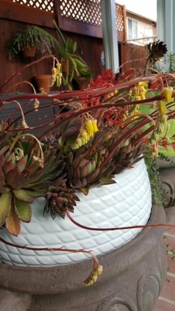 Succulent color 3