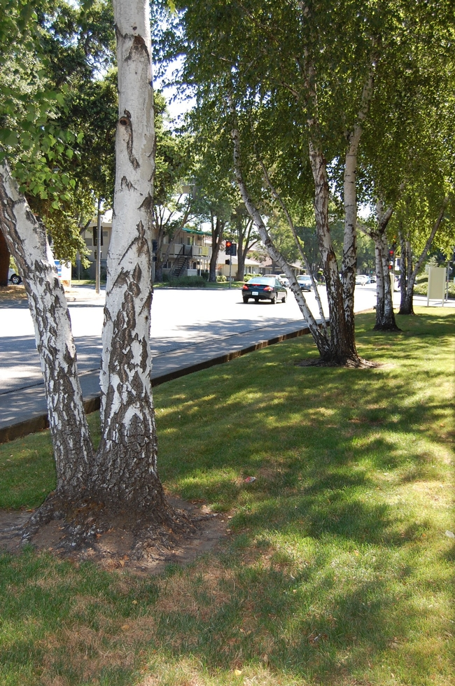 A row of older white birches thrives in a well-irrigated strip of turf along West Monte Vista Avenue in Vacaville. (Photo by Kathy Thomas-Rico)