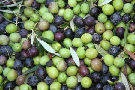 As of September 2011 California has approximately 30,000 acres of olives are in production.  California olive oil production has doubled since 2008.