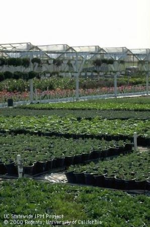 Ventura County agriculture includes ornamental nursery container-grown plants. Photo by Jack Kelly Clark.