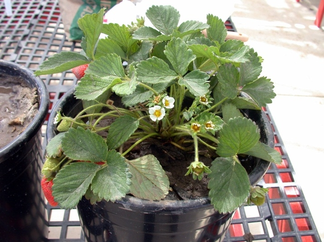 Ventana strawberry irrigated with water with Electrical conductivity=0 dS/m; Distilled water, H2O