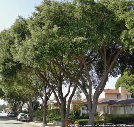 Oak trees in urban and natural settings throughout California are at risk of dying from the GSOB. Please do what you can to limit the spread of this destructive pest. Photo by K. Jones.