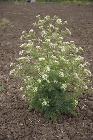 Poison hemlock, conium maculatum, located in or near fields that harbor the virus can cause disease in celery. Photo by Joseph M. Ditomaso.