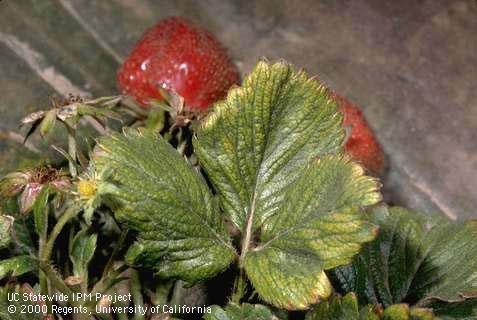 strawberry mite