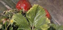 strawberry mite for UC Cooperative Extension, Ventura County Blog