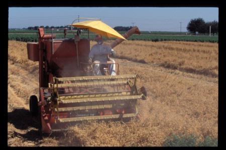 Worker harvesting garbonzo beans.