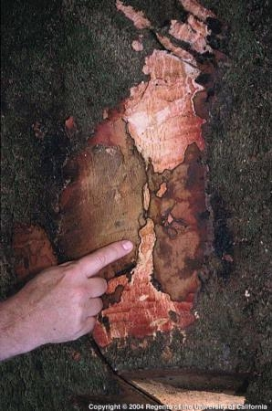 characteristic of infection by Phytophthora ramorum