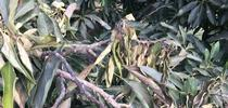 Heat stress to avocado leaves for UC Cooperative Extension, Ventura County Blog
