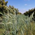 Triticale and Lamb-Hass. Photo credit: Chris Sayer