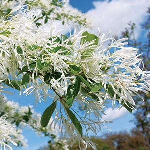 Chionanthus retusus Chinese fringe tree