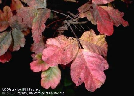 Red autumn coloration of poison oak, Toxicodendron diversilobum. Photo by Jack Kelly Clark.