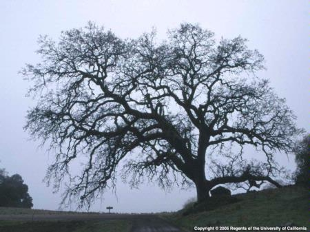 Photo of oak tree by Jack Kelly Clark.