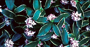 Daphne odora 'Aureomarginata' has shiny variegated leaves, requires little maintenance and intensely fragrant flowers perfume cool winter air. Photo from UCD Arboretum All-Stars website.