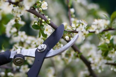 Proper pruning of fruit and nut trees helps to maintain tree health and productivity.