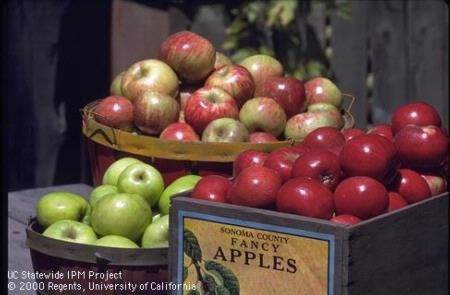 There are hundreds of apple varieties, and some varieties have several strains, each with its own characteristics. It is best to plant apple trees during January, February, or March.