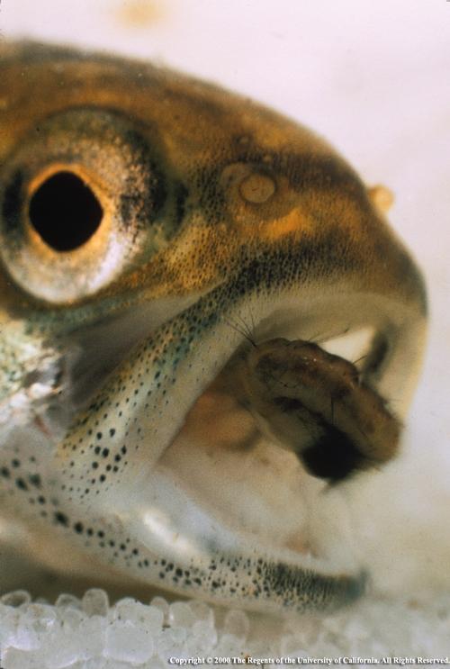 MosFish 2668 007