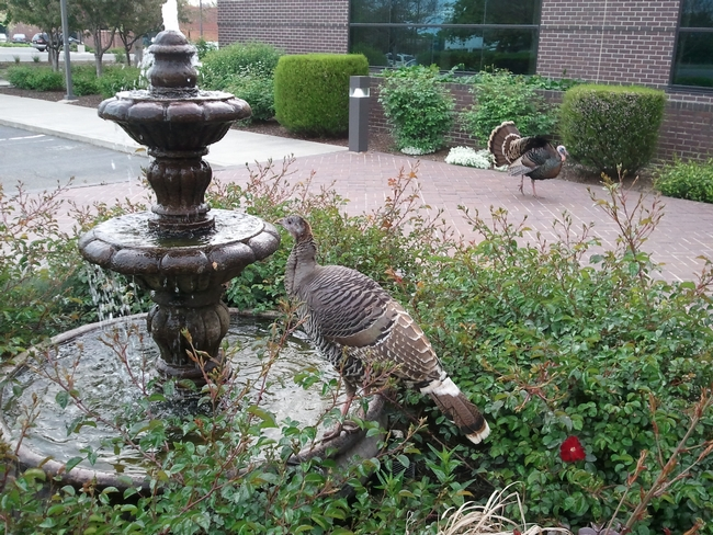 Image: Two Turkeys, one standing on a fountain getting a drink of water. A male turkey in the background strutting showing a full bloom of feathers.