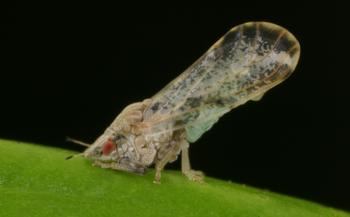 Asian citrus psyllids often perch with their hindquarters raised