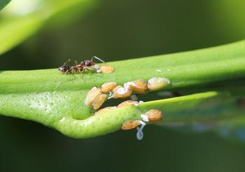 Ant protecting psyllids to farm the sweet honeydew they produce.