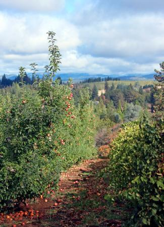 Apple Orchard and Grapes