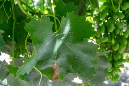 Botrytis infected leaf of grape