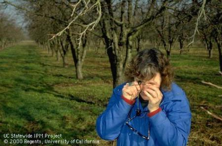 IPM staff: Carolyn Pickel uses hand lens to examine aphid egg on dormant buds.