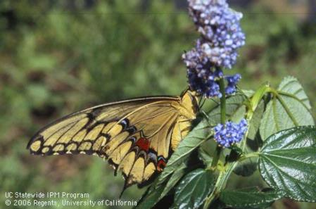 Adult brown and yellow giant swallowtail or orangedog, <i>Papilio cresphontes.</i>