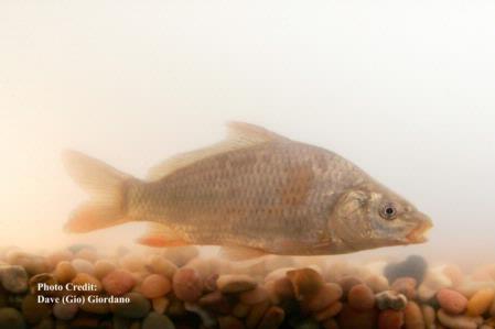 Common carp, 7 in, Suisun Marsh 2