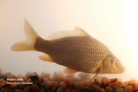 Common carp, 7 in, Suisun Marsh 3
