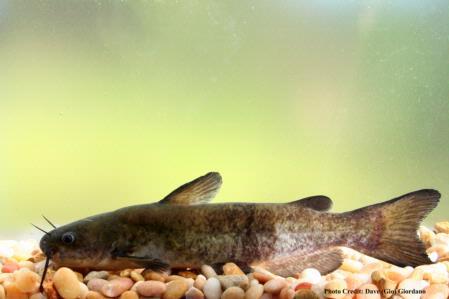 White catfish, 8 in, side angle, Deer Creek