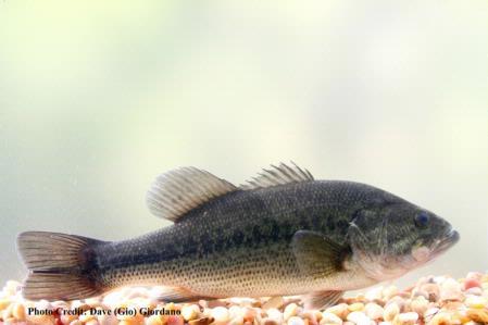 Largemouth Bass, 12 in., Deer Creek