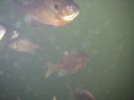 Bluegill, group in water, Leanord Lake