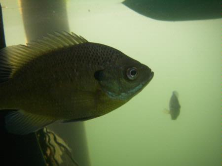 Bluegill, in water, Leanord Lake