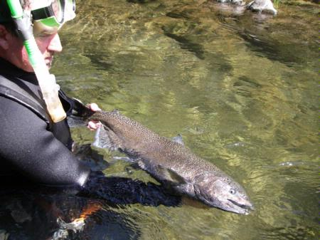 Chinook salmon, hand held in water, Butte Creek
