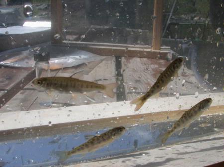 Coho salmon, fry, Shasta River
