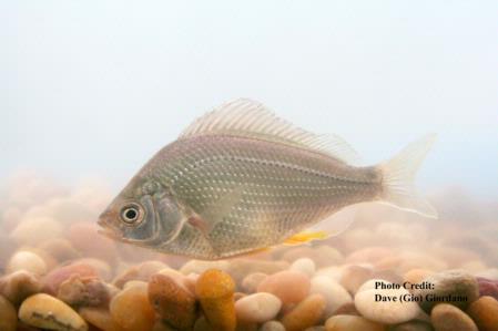 Tule Perch, 4 in., Suisun Marsh