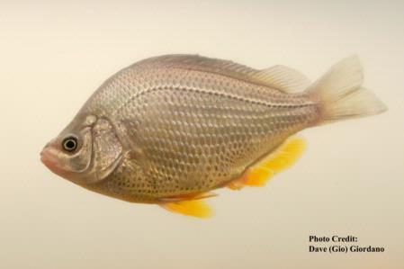 Tule perch, 5 in., Suisun Marsh