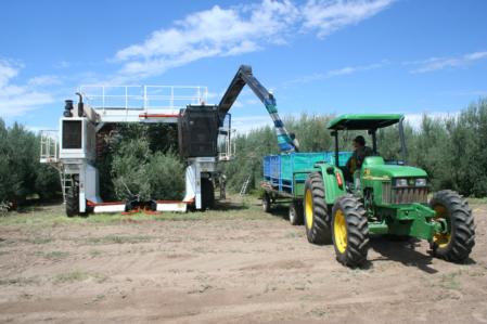 MacTeq 'Colossus' olive harvester filling field bins, Argentina 2008