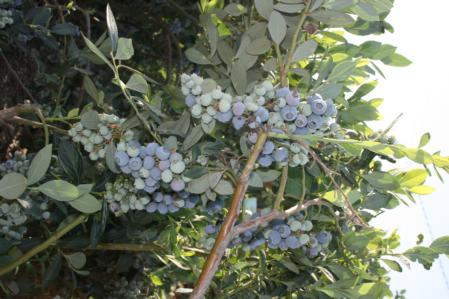 Blueberry plant 1