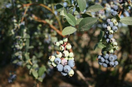 Blueberry plant 2