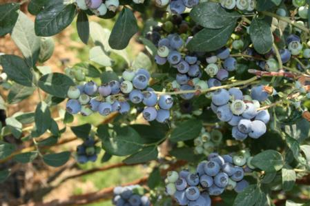 Blueberry plant 4