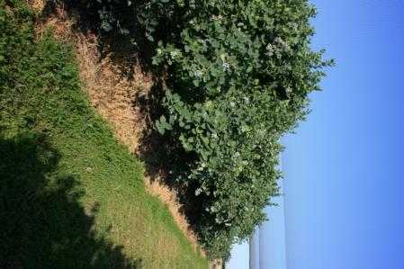Blueberry row