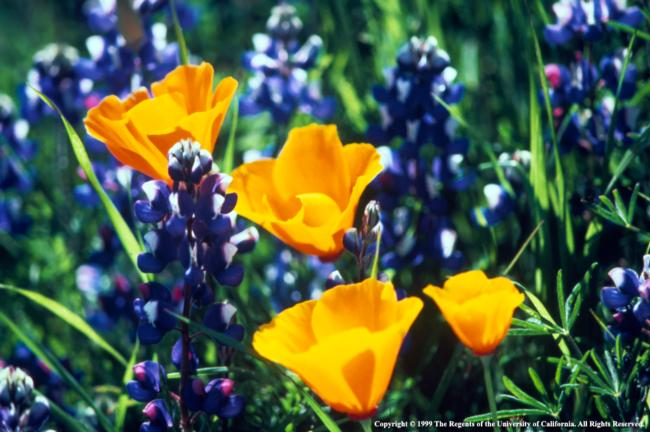 California Poppy Heads and Lupine Flowers