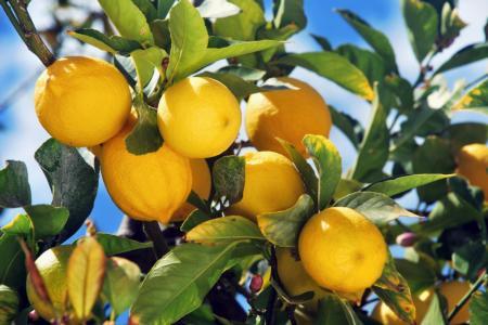 Lemon Fruit on Tree